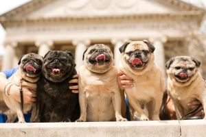 These are the five pugs that live at the Kennedy Compound. From left: Sadee Lew, Lillian Mae, Onslow, Ralph Eugene, and Greta. All but Greta are rescues: Sadee and Onslow came from Alabama Pug Rescue; Lillian Mae and Ralph, from Peace, Love, and Dog Paws Rescue.